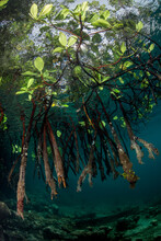 Mangrove Roots Reach Into The Water In The Solomon Islands.