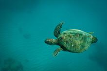 Green Sea Turtle, Chelonia Mydas, Oahu, Hawaii