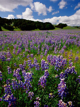 Lupine Flowers, Monterey County , California, USA