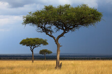 Three Acacia Trees Below Stormy Skies In Kenya's Masai Mara National Reserve.