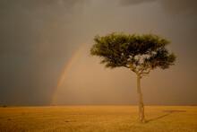 A Rainbow Forms Behind An Acacia Tree In Masai Mara, Kenya