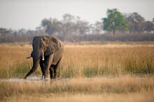 An Elephant Drinking From A Stream In Botswana.