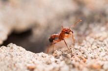 California, Red Rock Canyon State Park, Mojave Desert. A Bearded Harvester Ant Of The Family Pogonomyrmex.