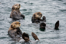 Sea Otters Relax On Their Backs And Look On Curiously In The Waters Near Sitka, Alaska.