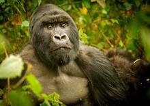 A Silverback Gorilla Makes Eye Contact With The Photographer In Volcano National Park, Rwanda.