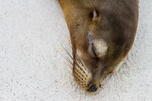 Portrait Of A Sleeping Sea Lion On The Galapagos Islands, Ecuador