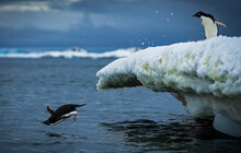 Adelie Penguins Jump Into The Sea In Antarctica.