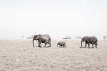 An Elephant Family, With Stylized Sepia Treatment.