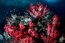 Soft Corals On A Raja Ampat Reef.