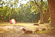 Beagle Relaxing At Camp, Brazos Bend State Park, Texas