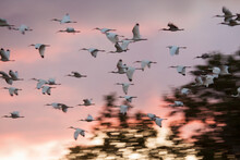 White Ibis Fly To Roost At Sunset In Everglades National Park, Florida.