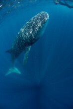 A Whale Shark And A Photographer Meet Face To Face Off The Coast Of Mexico.