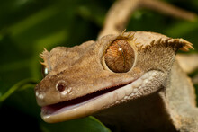 A Crested Gecko, Rhachodactylus Ciliates, In Los Osos, California