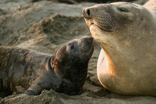 California, Piedras Blancas Seal Rookery. Northern Elephant Seal, Mirounga Angustirostris. New Born Pup With Mother.
