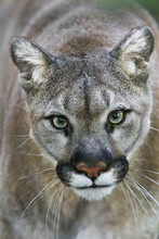Intense Portrait Of A Female Cougar Or Mountain Lion.