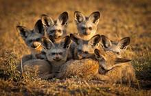 Bat Eared Fox Family On The Grassy Savannahs Of The Masai Mara, Kenya