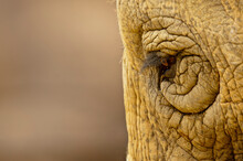 A Captive Asian Elephant, Elephas Maximus, At The Zoo, Santa Barbara California