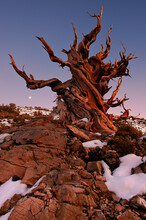 Sunset On A Bristlecone Pine In The White Mountains, California