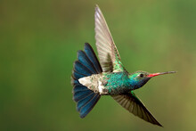 A Humming Bird Hovers In Mid Air.