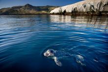 Baby Harbor Seal, Bird Rock, Catalina Island California