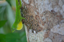 A Green Lizard (Anolis Evermanni) Displays His Dewlap In A Territorial Bout With Another Intruding Male From A Free In El Yunque National Park, Puerto Rico.