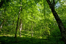 Warm Light On Green Forest On Trail, Blue Ridge Parkway