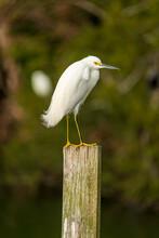 Snowy Egret In The Grass