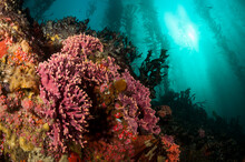 Colorful Temperate Reef And Kelp Forest Along The Central California Coast.
