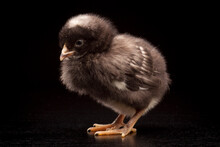 A Young Barred Rock Chick On A Black Background