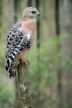 Homosassa Springs State Park, FL: A Red Shouldered Hawk Perches On A Branch
