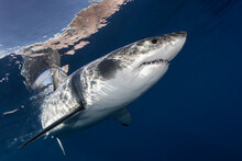 Mexico, Baja California, Pacific Ocean. A Great White Shark Swimming Near The Surface At Guadalupe Island.