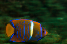 Movement And Velocity Of A Swimming King Angelfish Found In Ixtapa, Mexico.