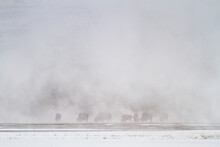 A Small Herd Of Bison Graze In Steam Produced From The Lower Geyser Basin In Yellowstone National Park, Wyoming.