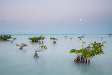 A Full Moon Sets Over A Mangrove Flat On Florida Bay Within Everglades National Park, Florida.