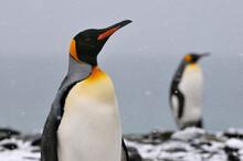 King Penguins, Salisbury Plain, South Georgia.