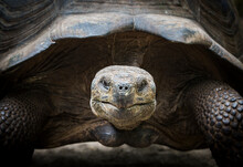 A Galapagos Tortoise Peers Into The Camera In The Galapagos Islands.