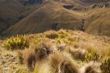 The Grasslands Of The Paramo Along The Inca Trail, Ecuador.