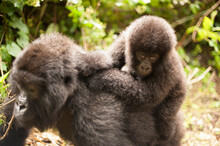 A Female Mountain Gorilla Named Rubutu And Her Baby Mastaki At Virunga National Park In The Democratic Republic Of The Congo