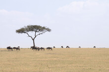 A Landscape Featuring An Acacia Tree And Wildebeest In Tanzania.