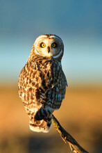 Skagit Wildlife Area, Washington: A Side Lit Portrait Of A Roosting Short Eared Owl.
