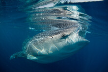 A Whale Shark Skims The Water For Plankton Off The Coast Of Mexico.