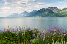 Lupine Wildflowers Grow Along The Shores Of Jackson Lake In Grand Teton National Park, Wyoming.