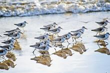 Endangered Western Snowy Plover, Charadrius Alexandrinus, Run Along Ellwood Beach In Goleta California.