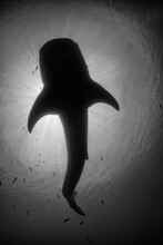 Black And White Image From Under A Shark In West Papua, Indonesia.
