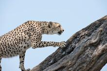 A Cheetah Climbs A Fallen Tree In Kenya.