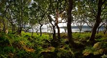 Dwarf Forest Of Oaks, Loch Na Keal, Isle Of Mull