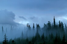 A Pacific Northwest Forest Just After A Storm In Fog