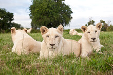 A Young Pride Of Male And Female White Lions In The Grass. South Africa.