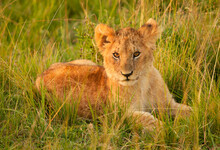 A Lion Cub Rests In The Grass Of The Masai Mara, Kenya.