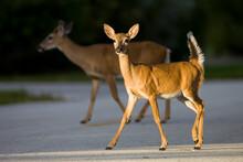A Key Deer (Odocoileus Virginianus Clavium) Crosses A Residential Road In Big Pine Key, Florida.